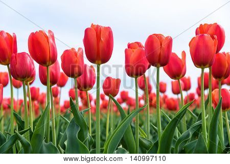 Close-up of red tulips from below in a field of red tulips against a bright sky