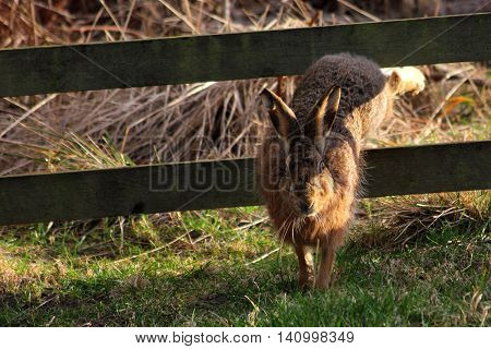 European (Brown) Hare jumping through fence, Northumberland, England