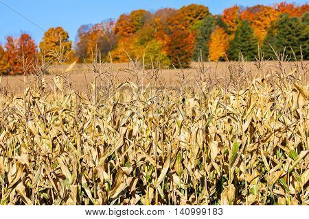 A field of corn ready to harvest standing in-front of beautiful colored fall trees.