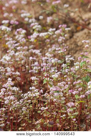 Close up of purple buckwheat (Tam Giac Mach in Vietnamese) flower in Ha Giang province, far north of Vietnam.