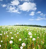 Summer meadow with fluffy dandelions under blue sky with clouds poster