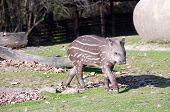 picture of tapir  - Tapir baby busily pass by a large boulder - JPG