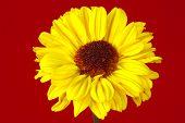 stock photo of yellow flower  - photo of a yellow flower - JPG
