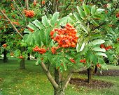 picture of mountain-ash  - Mountain Ash tree with orange fruit berries - JPG