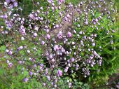 picture of pubescent  - Buds meadow rue  - JPG