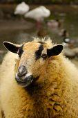 Domestic Sheep Portrait - An Ewe poster