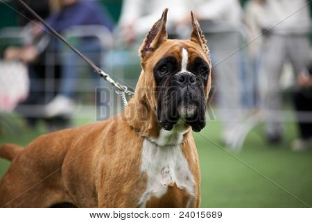 Dog Ear Cut Outs Boxer Dog With Cut Ears