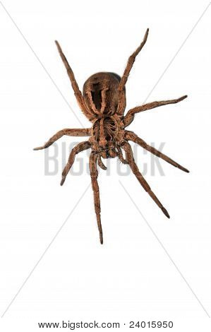 A wolf spider ready to pounce.