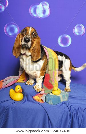 Bath Tub Bassett Hound