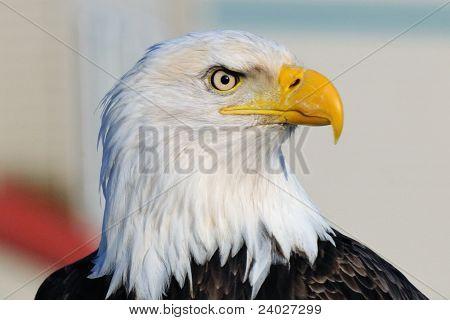 Mature Bald Eagle Portrait