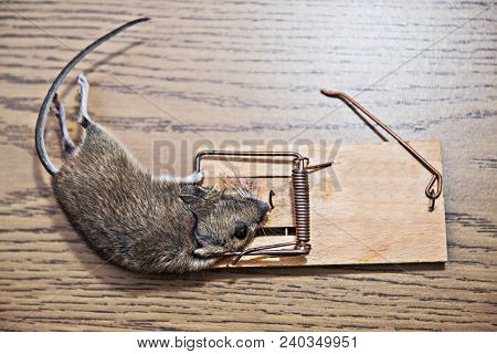 Dead Mouse In Mousetrap On