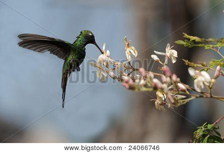 The Cuban Emerald (chlorostilbon Ricordii)