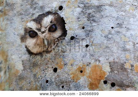 Cuban Screech-owl  In Tree Hole