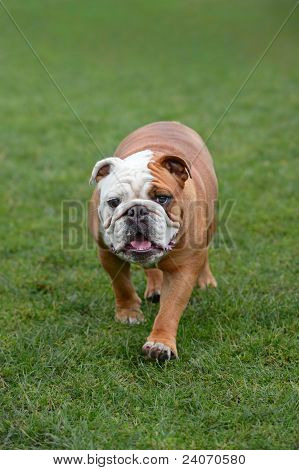 English Bulldog, Walking Towards The Camera