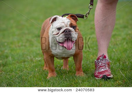 English Bulldog, Standing, Front View
