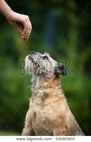 Border Terrier being given a treat