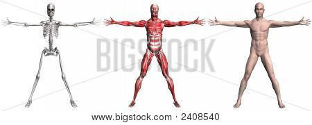Skeleton And Muscles Of A Human Male
