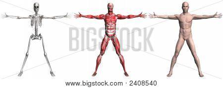 Esqueleto e músculos de um homem