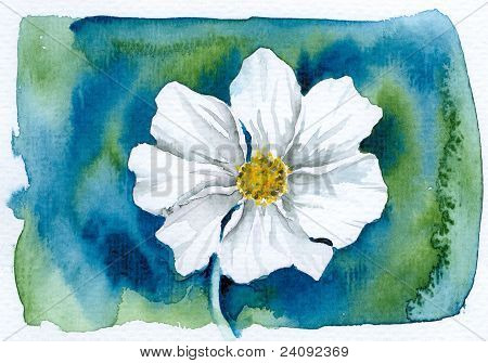 White Cosmea