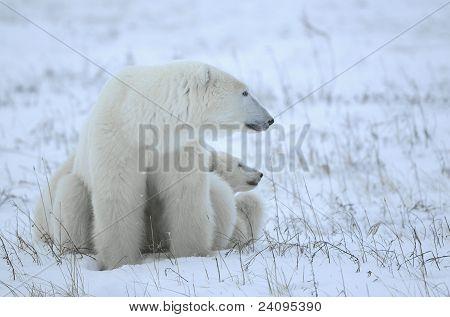 Polar Bärin mit jungen