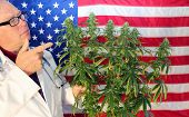 A happy Marijuana Research Scientist inspects and Enjoys a Female Flowering Marijuana Plant he has g poster