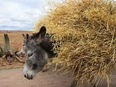stock photo of jack-ass  - Domestic donkeys in Sacred Valley - JPG