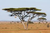 stock photo of tig  - A large acacia thorn tree in the Serengeti national park - JPG
