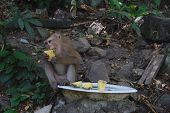 A Wild Macaque Monkey Eating An Ananas poster
