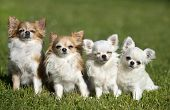Purebred Chihuahuas In A Garden In Spring poster