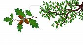 A Green Branch Of A Large Oak Tree With Acorns And A Separate Twig Close Up. Vector Illustration poster