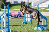 Dog Jumping Over Hurdle On Its Course In Agility Trial poster