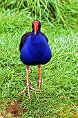 pic of ceres  - a pukeko nz protected wading bird approaching camera - JPG