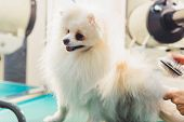 White Pomeranian Dog On The Table For Grooming In The Beauty Salon For Dogs. The Concept Of Populari poster