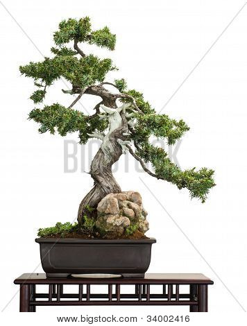 Old Juniper (juniperus Rigida) As Bonsai Tree