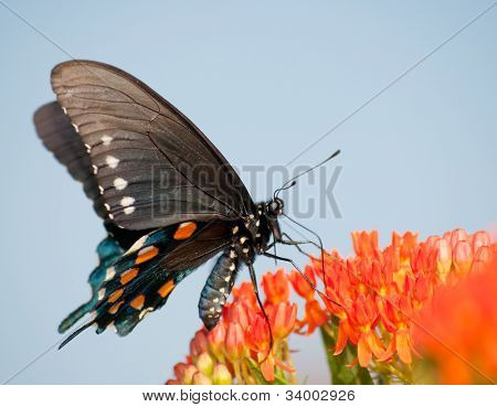 Green Swallowtail butterfly on orange Butterflyweed against blue sky