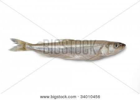 Single fresh European smelt fish on white background