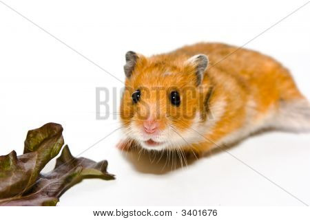 Hamster Going For Vitamins