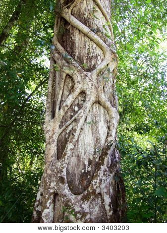 Strangler Fig wortels wurgen een Cypress Tree
