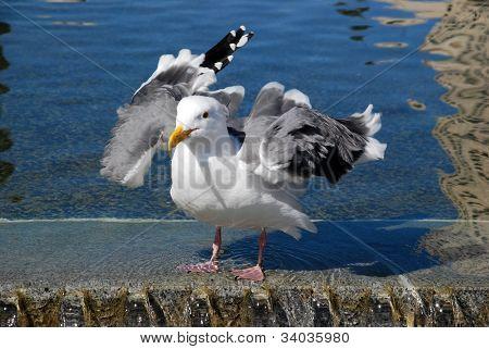 Seagull Fandango