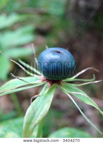 Berry Of Poisonous Wood Plant Eyes Of Raven Chetyrehlistnyj Paris Quadrifolia