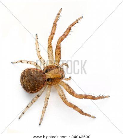 Crab spider, Xysticus sp against white background
