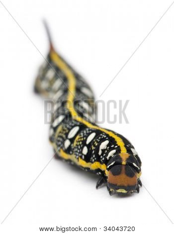 Spurge Hawk, Hyles Euphorbiae, caterpillar, 3 weeks old against white background