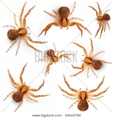 Crab spiders, Xysticus sp against white background