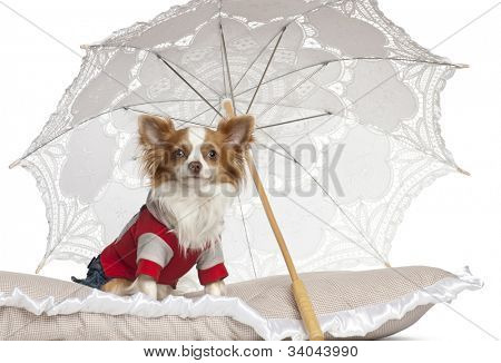 Chihuahua, 1 year old, sitting under parasol against white background
