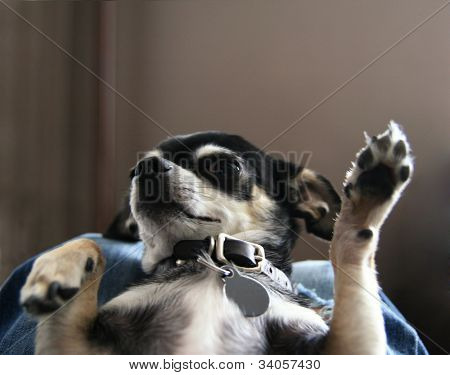 a tiny chihuahua with his paw in the air on his back