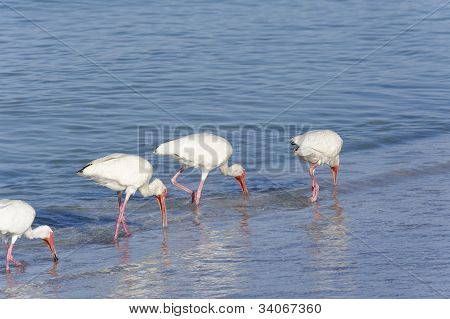 White Ibis Walking On Beach