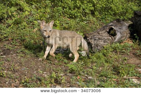 Watchful Coyote Pup