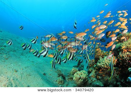 Tropical Fish with Scuba Divers in background