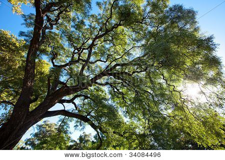 Crown Of The Jakaranda Tree In The Sunlight