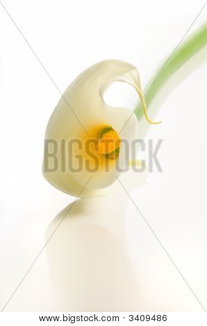 Calla Lily, Isolated